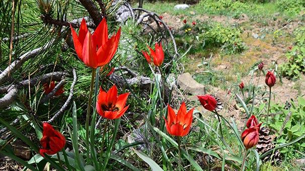 Dikkat ! Bu Çiçekleri Koparana Rekor Ceza - Manisa Lalesi