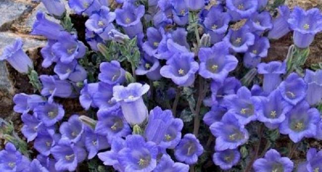 Dikkat ! Bu Çiçekleri Koparana Rekor Ceza - Tüylü Çan Çiçeği